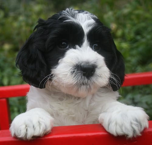 labradoodle for sale, labradoodle puppies for sale, labradoodle, oregon labradoodle