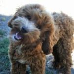 labradoodle stud, labradoodle, labradoodle oregon, oregon, labradoodle puppies for sale
