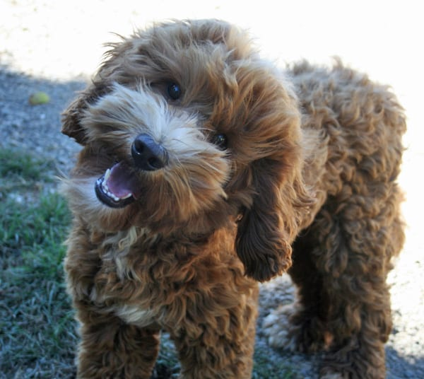 labradoodle stud, labradoodle, labradoodle oregon, oregon, labradoodle puppies for sale