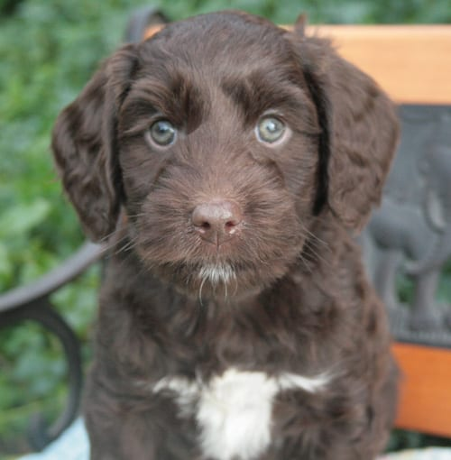 miniature labradoodle, labradoodle puppies for sale, labradoodle puppies for sale Oregon, medium labradoodle puppies, oregon labradoodle