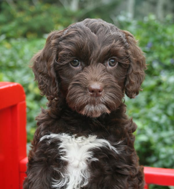 Chocolate female from previous Peggy and Tango litter