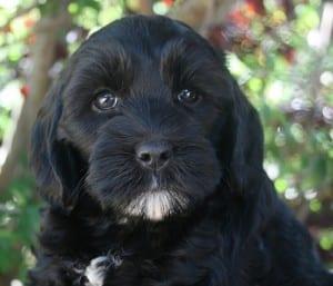 labradoodle puppy, black labradoodle puppies, labradoodle puppies for sale, miniature labradoodle