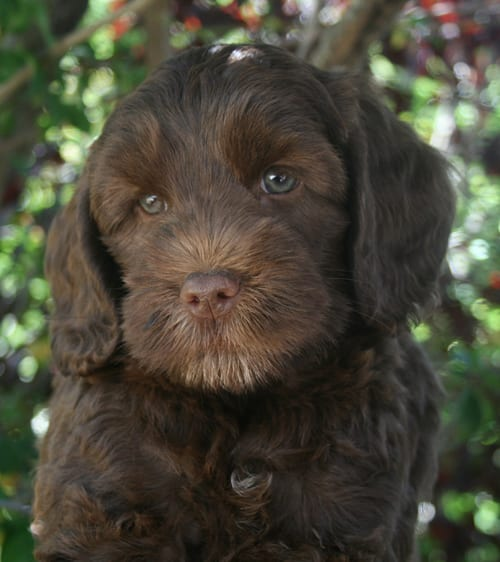 Chocolate Labradoodle Puppy From Ripley Tangos Previous Litter