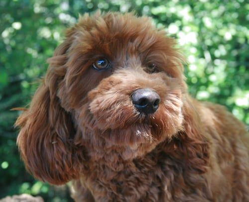 Black Hypoallergenic Labradoodle Puppies For Sale In Portland