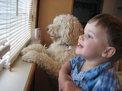 cute labradoodles from oregon great with kids