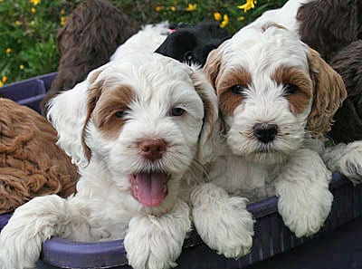 White and tan labradoodle puppies