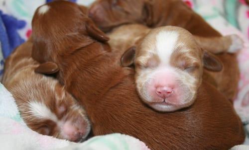 labradoodle puppies, labradoodle, labradoodle oregon, labradoodle puppies for sale, medium labradoodle, apricot labradoodle