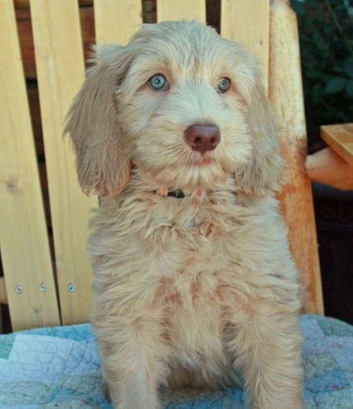 Labradoodle puppies for sale  Breeder Oregon   Pacific Coast