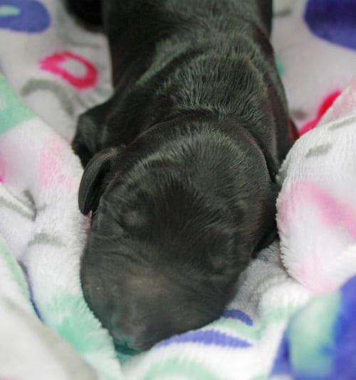 medium labradoodle, labradoodle, oregon labradoodle, labradoodle puppies for sale