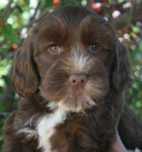 labradoodle puppies for sale, mini labradoodles, oregon labradoodles