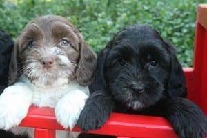 mini labradoodles, labradoodles for sale, labradoodle puppies for sale oregon