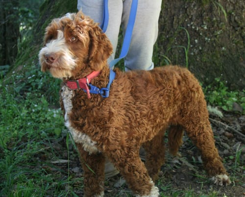 medium labradoodle, labradoodles oregon, available labradoodle puppies, labradoodle puppies available, labradoodle puppies for sale