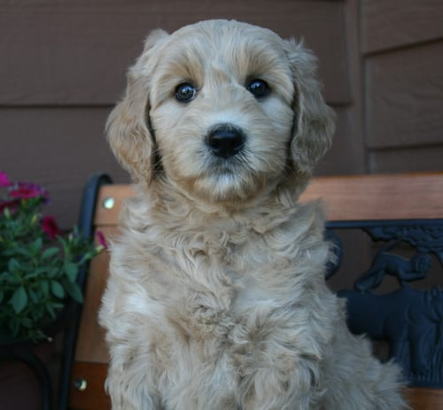 labradoodle puppies for sale, labradoodle, labradoodles, standard labradoodle puppy, labradoodle puppies for sale oregon