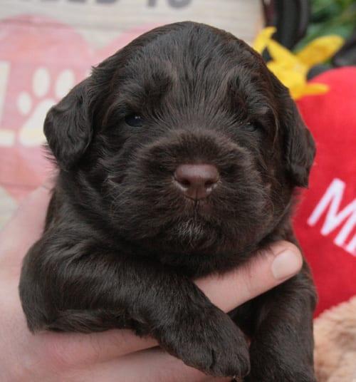 medium labradoodle, labradoodle puppies for sale, medium chocolate labradoodle puppies, available labradoodle