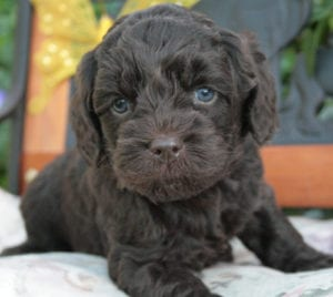 available labradoodle, miniature labradoodle puppies, mini labradoodles, mini labradoodles oregon, labradoodle oregon, labradoodle puppies for sale