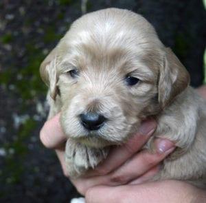 labradoodle puppies for sale, labradoodle, labradoodles oregon, standard labradoodle, labradoodle puppies Oregon