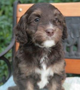 medium labradoodle, labradoodle puppies for sale, labradoodle puppies for sale oregon, labradoodles oregon, miniature labradoodles