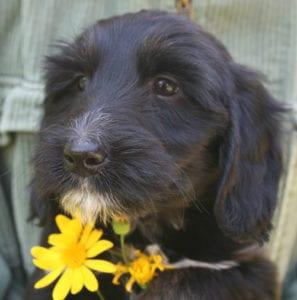 medium labradoodle, labradoodle for sale, available labradoodles, available labradoodle puppies, labradoodle puppies for sale labradoodle