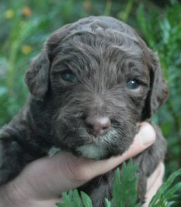 medium labradoodle puppies, available labradoodle puppies, labradoodle puppies for sale, labradoodle puppies for sale Oregon, medium labradoodle puppies for sale