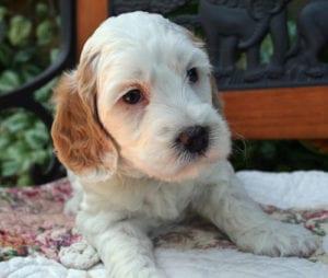 labradoodle puppies for sale oregon, labradoodle puppies for sale, labradoodle puppy, oregon labradoodle, labradoodle, medium labradoodle