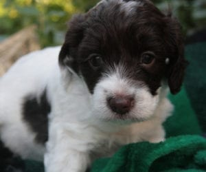 miniature labradoodle, mini labradoodle, miniature labradoodle puppies for sale, mini labradoodle puppies for sale, labradoodle puppies oregon