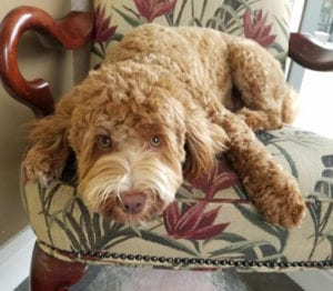 medium labradoodle, labradoodle, labradoodle puppies for sale, labradoodle oregon, oregon,