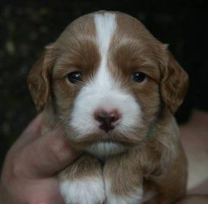 medium labradoodle, labradoodle puppies for sale, labradoodle oregon, available labradoodle puppies, labradoodle