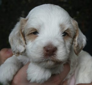 medium labradoodle, labradoodle puppies for sale, labradoodle oregon, available labradoodle puppies, labradoodle