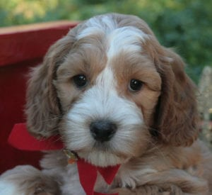 medium labradoodle, labradoodle puppies for sale, labradoodle oregon, labradoodle for sale