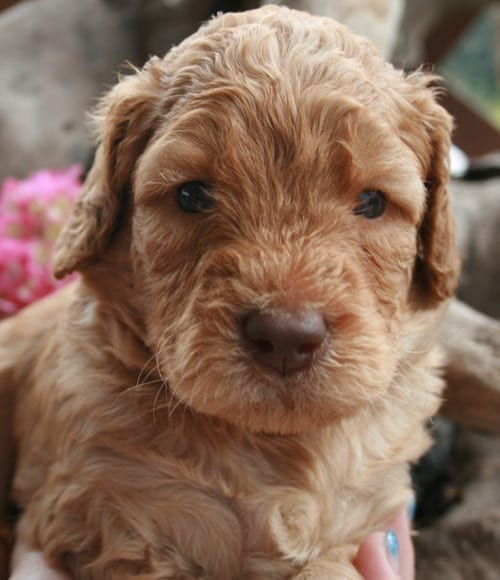 standard labradoodle puppy, standard labradoodle puppies for sale, large labradoodles, labradoodle puppies for sale