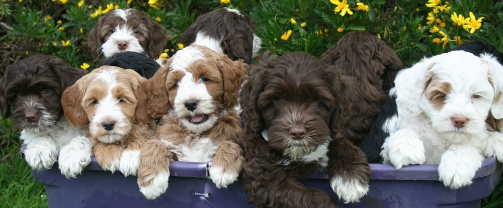 beautiful multi colored labradoodle puppies from previous litters