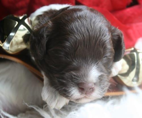 miniature parti labradoodle, labradoodle puppy, labradoodle puppies, miniature labradoodle, mini labradoodle
