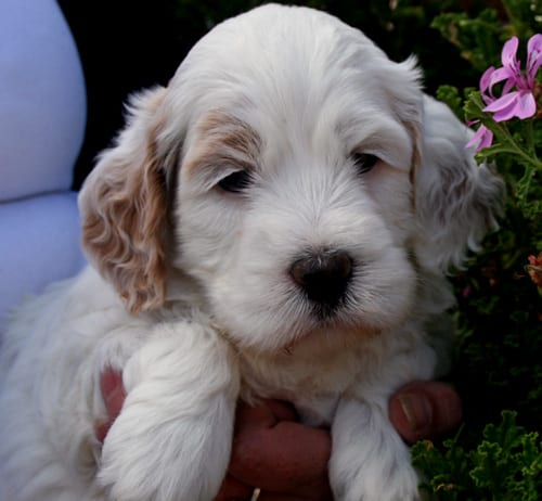 labradoodle, labradoodle puppies, medium labradoodle, labradoodle puppies for sale, labradoodle oregon
