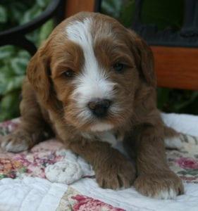 labradoodle puppies for sale, labradoodle puppies oregon, oregon labradoodle, medium labradoodle puppies, labradoodle