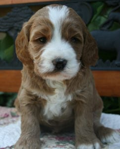 labradoodle puppies for sale, labradoodle puppies oregon, oregon labradoodle, medium labradoodle puppies, labradoodle