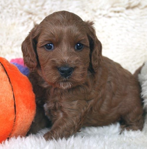 labradoodle, labradoodle puppies, labradoodle puppies for sale, labradoodle oregon