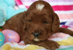 labradoodle puppy, apricot labradoodle puppy, labradoodle puppies for sale, medium labradoodle, oregon labradoodle