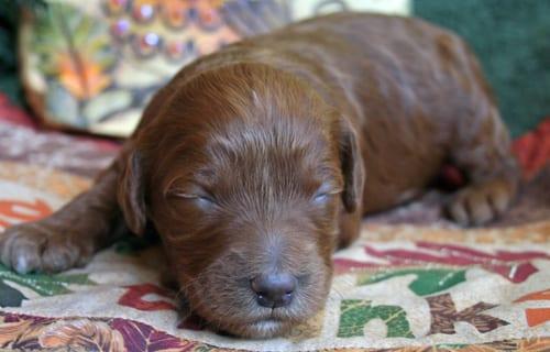 medium labradoodle, labradoodle, labradoodle puppies for sale, labradoodles oregon