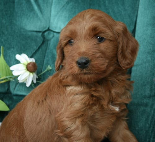 apricot labradoodle puppy, labradoodle puppy, labradoodle puppies for sale