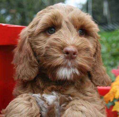 labradoodle puppies for sale, labradoodle puppy, medium labradoodle, medium labradoodle puppies for sale, labradoodle oregon