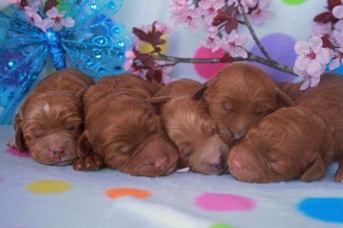Harlan's male labradoodle puppies.
