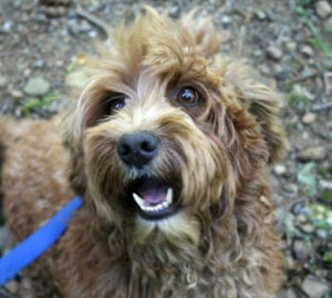 Medium apricot labradoodle, labradoodle for sale, labradoodle puppies for sale, labradoodle oregon
