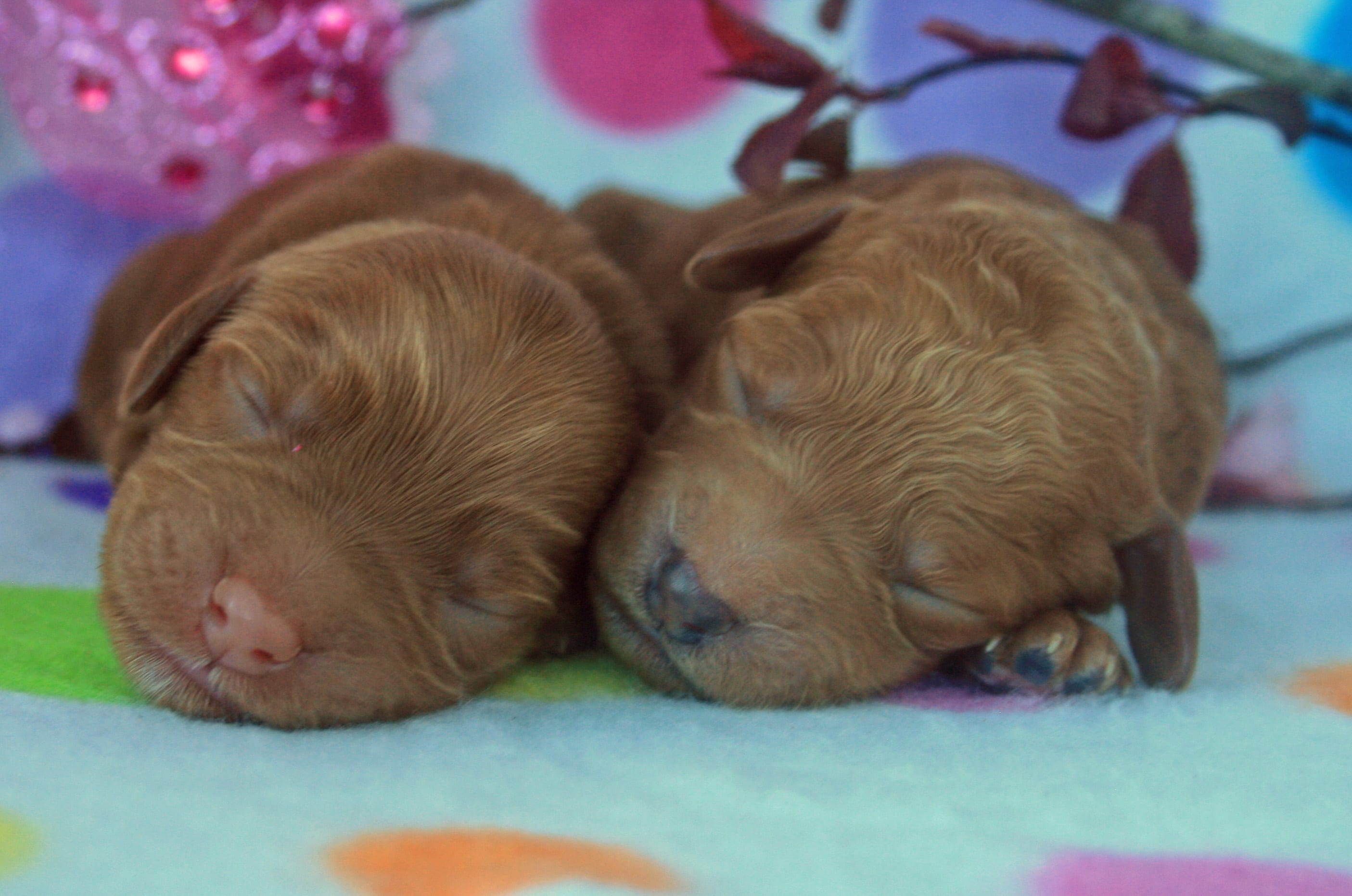 Harlan's female labradoodle puppies.