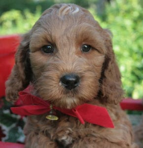 harlan orange boy 8wks - Pacific Rim Labradoodles