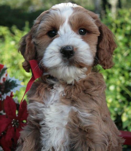 labradoodle, labradoodle puppies for sale, labradoodle puppies for sale Oregon, Oregon labradoodle,