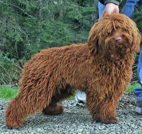 standard labradoodle, labradoodle puppies for sale, labradoodle oregon, standard labradoodle oregon