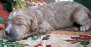 labradoodle, labradoodle puppies for sale, oregon labradoodle, standard labradoodle, labradoodle puppies for sale in oregon