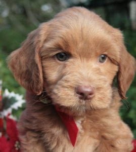 standard labradoodle puppies, standard labradoodle, labradoodle puppies for sale, labradoodle puppies for sale Oregon