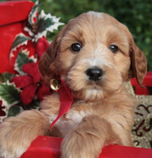 standard labradoodle puppies, standard labradoodle, labradoodle puppies for sale, labradoodle puppies for sale Oregon