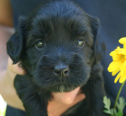 miniature labradoodle, mini labradoodle, mini labradoodles, miniature labradoodles, labradoodles for sale, labradoodles oregon, available miniature labradoodle puppies